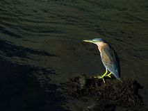 Green Heron. Perched on a rock Royalty Free Stock Photo