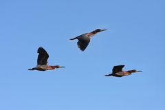 Green Heron Royalty Free Stock Photography
