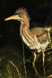 Green Heron Royalty Free Stock Photos