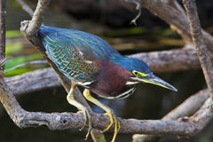 Green Heron. Resting on branch Royalty Free Stock Photo