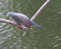 Green Heron. Hunting fish from a branch Stock Photos