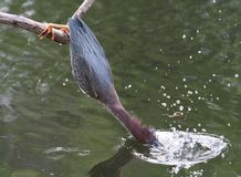 Free Green Heron Royalty Free Stock Photography - 9776847