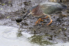 Green Heron and Baby Turtle stock photos