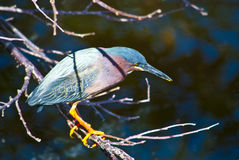 Green Heron Royalty Free Stock Photos
