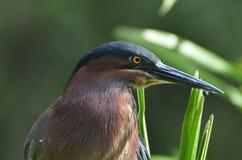 Green Heron Bird in Homosassa Springs Florida Stock Photography