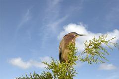 Green Heron. A bird with a velvet-green back, rich chestnut body, and a dark cap often raised into a short crest.  They sometimes lure in fish using small items Royalty Free Stock Photos
