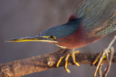 Green Heron on a branch closeup Royalty Free Stock Image