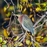 Green Heron on branch Royalty Free Stock Photos