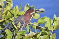 Green Heron in the Bush Royalty Free Stock Photography