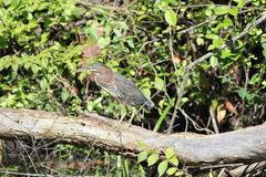 Green heron (Butorides striatus) Royalty Free Stock Photography