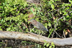 Green heron (Butorides striatus) Stock Images