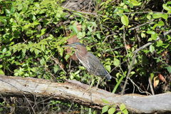 Green heron (Butorides striatus) Stock Photo