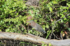 Green heron (Butorides striatus) Royalty Free Stock Photos
