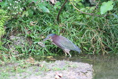 Green heron Butorides striatus Stock Photography