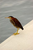 Green Heron butorides virescen. A green heron waits on the dock for a fish to come by stock photos