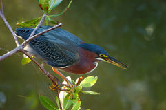 Green Heron butorides virescen Stock Photography