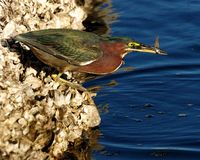 Green Heron butorides virescen with fish Stock Image