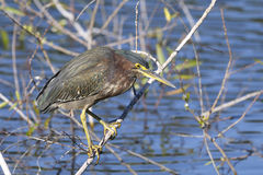 Green heron,  butorides virescens Royalty Free Stock Photography