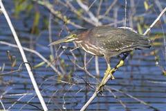 Green heron,  butorides virescens Royalty Free Stock Photos