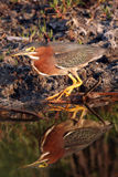 Green Heron, Butorides virescens Stock Photos