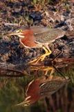 Green Heron, Butorides virescens Stock Photos