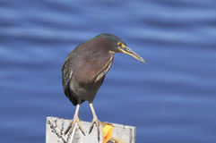 Green heron,  butorides virescens Stock Photo
