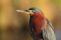 Green Heron (Butorides virescens) Royalty Free Stock Image