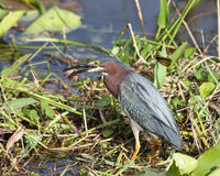 Green Heron (Butorides virescens) Royalty Free Stock Photos