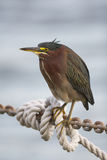 Green Heron, Butorides virescens Royalty Free Stock Images