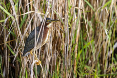 Green heron,  butorides virescens Stock Images