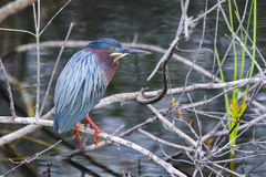 Green heron,  butorides virescens Stock Image