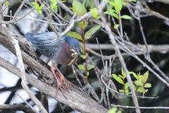 Green heron,  butorides virescens Royalty Free Stock Images