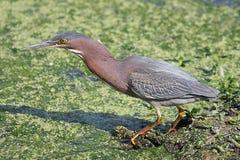 Green Heron (Butorides virescens) Royalty Free Stock Image