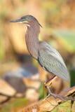 Green Heron (Butorides virescens) Royalty Free Stock Photo