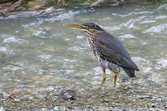 Green Heron, Butorides virescens Royalty Free Stock Photo