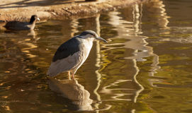 Green heron, Butorides virescens Royalty Free Stock Photo