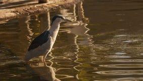 Green heron, Butorides virescens Stock Photo