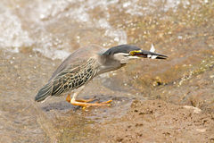 Green heron Butorides virescens with double fish catch Royalty Free Stock Photos