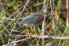 Green Heron (Butorides virescens) Stock Photography