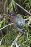 Green Heron & x28;Butorides virescens& x29; Royalty Free Stock Photo