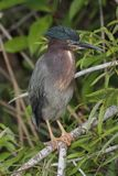 Green Heron Butorides virescens Royalty Free Stock Photography
