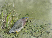 Green Heron (Butorides virescens) Stock Photography