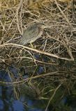 Green Heron (Butorides virescens) hunting Stock Photos