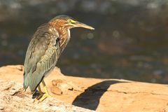 Green Heron (Butorides virescens) Royalty Free Stock Photography