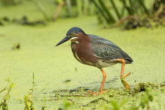 Green Heron (Butorides virescens)n Royalty Free Stock Image