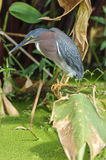 Green Heron (Butorides virescens)n Stock Photography