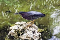 Green heron - Peninsula de Zapata National Park / Zapata Swamp, Cuba. Green heron / Butorides virescens / - Peninsula de Zapata National Park / Zapata Swamp stock photography
