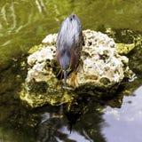 Green heron - Peninsula de Zapata National Park / Zapata Swamp, Cuba. Green heron / Butorides virescens / - Peninsula de Zapata National Park / Zapata Swamp royalty free stock photography