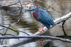 Green Heron (Butorides virescens) perched on a downed log Stock Photography