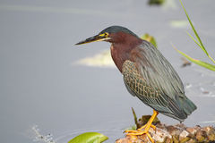 Green Heron (Butorides virescens) Perched at the E Stock Photo
